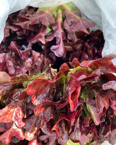 Purple Lettuce Small
